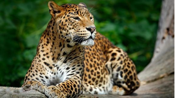 Snapshot of Sri Lanka Curated Travel Experience | Leopard Sighting | By Art In Voyage