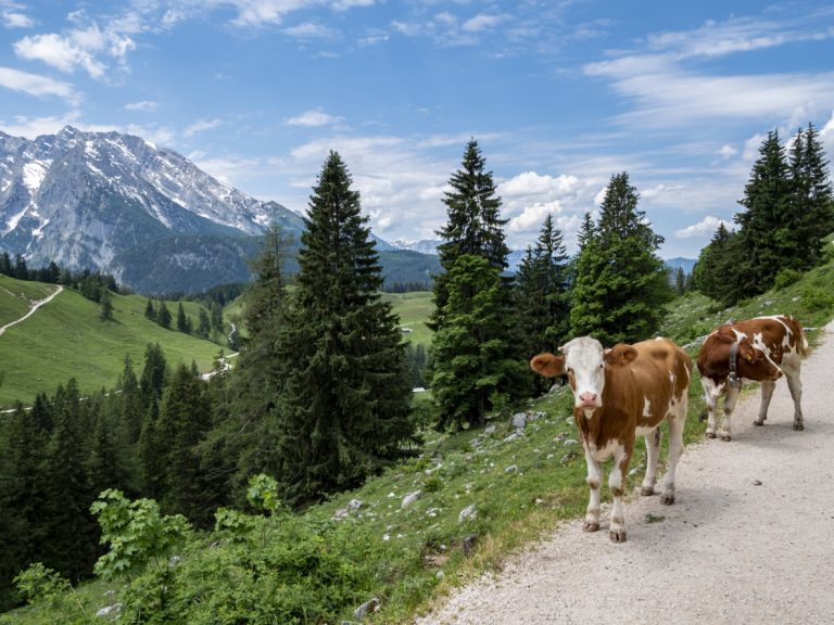 Bavarian cows, by Art In Voyage