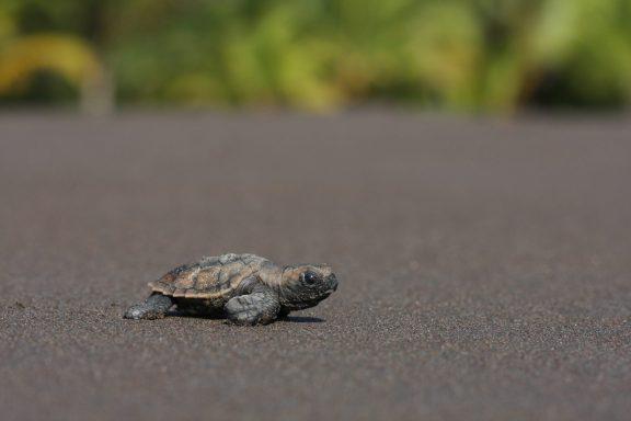 Turtles of Guanacaste