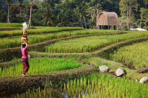 Ubud & its rice terraces