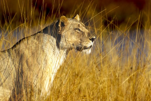 A beautiful lioness sitting in perfect afternoon sunlight in Pilansberg national park, South Africa