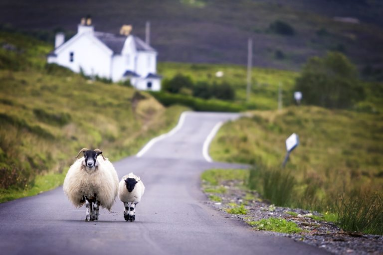 Sheep walking in Scotland, By Art In Voyage